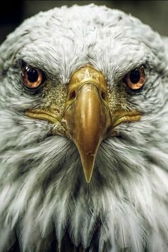 The Majestic Bald Eagle