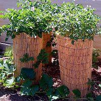 growing potatoes in towers