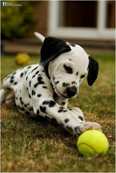 101 dalmatians, aww, dalmatian puppi, animals, ball, pet, ador, dog, friend