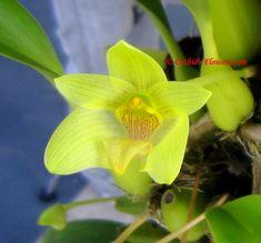 Bulbophyllum orectopetalum bulbophyllum orectopetalum
