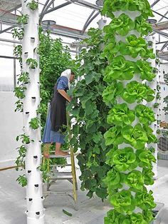 Vegetables being harvested at a commercial greenhouse which uses aeroponic towers.
