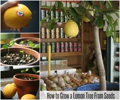 How to Grow a Lemon Tree From Seeds