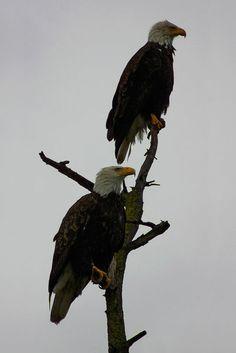 """bald eagle pair in the rain"" by dedmanshootn"