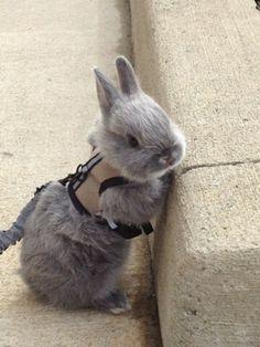 rabbit leashes, fluffy rabbit, walk, rabbits for pets