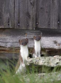 -: Weasel Family by TORE WUTTUDAL