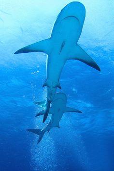 Caribbean Reef Sharks - Bahamas by SharonDow on Flickr.