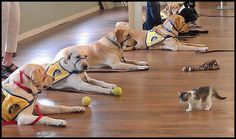 Canine Companions puppies learn distraction training from a 2 month old kitten!  Good dogs!  By: Canine Companions for Independence