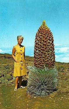 lady and silversword plant in Haleakala National Park, Maui