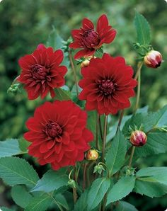 Red dahlias in white pots