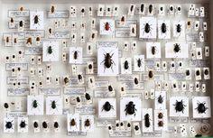 DEYROLLE - Entomologie, vente d'insectes et de papillons
