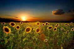 field, dream places, dreams, buckets, beauti girli, tuscany sunflowers, bathrooms, tuscany italy, bucket lists