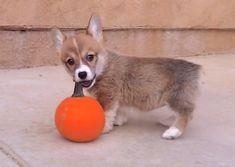 This Corgi puppy is loving her baby pumpkin playtime!