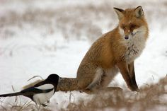 "Fox, bird and snow. This picture is titled ""Good afternoon, my name is chikiricuatro""."