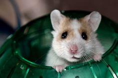 Hamster in wheel!