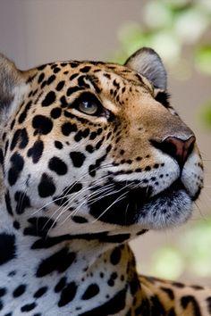 Leopard. So gorgeous