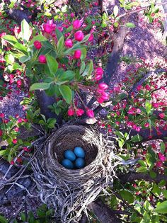 Signs of Springtime! Crabapples & Robins.