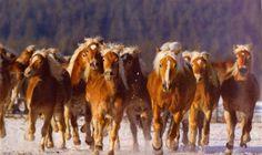 Haflinger Herd