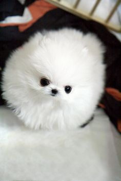 Teacup Pomeranian.  Seriously...this is ridiculous.  It doesn't even look real.  So freakin' cute.  How does this happen?