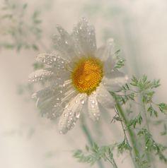 Daisy's Dew