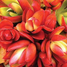 25 hot plants to grow now   'Campfire' Crassula   Sunset.com