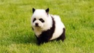 China's latest craze: dyeing pets to look like other wild animals.