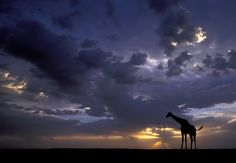 """African Sunset.  """"The rainy season is not the most popular season to visit Africa, but it's great if you want to get spectacular skies.  This was shot just before sunset in South Africa. I was waiting next to a water hole to see what animals would come to visit, when I suddenly saw a small herd of giraffes walking in my direction.""""  by Marsel van Oosten."""