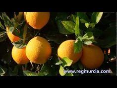 Frutas y Cítricos: la Naranja