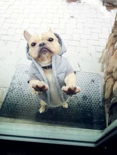 love a frenchie in a jacket <3