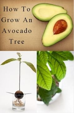 DIY how to grow an avocado tree (indoors house plant) - Click image to find more Gardening Pinterest pins