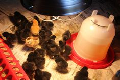 Taking Care of your New Baby Chicks