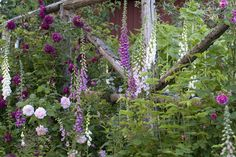 gorgeous foxgloves and roses! photo via Helen Fredholm's garden