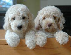 Cute poodles