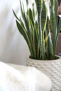 Indoor plant - snake plant in a sculptural planter