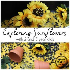 exploring large sunflowers in the sensory bin with preschoolers