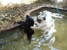 """""""Omg something touched my leg in the water! What was that?!"""" protect cat, pugs in water, leg, puggl, anim, pug in water, puppi, dog, funni pet"""
