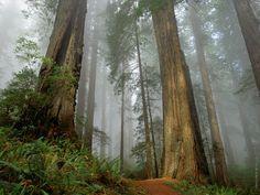 Redwoods and mist
