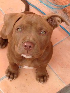 Adorable pitbull puppy