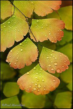'Rosy' Maidenhair Fern