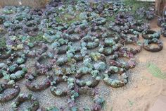 Living Succulent Wreath 10 Diameter ready to go by SANPEDROCACTUS, $40.00