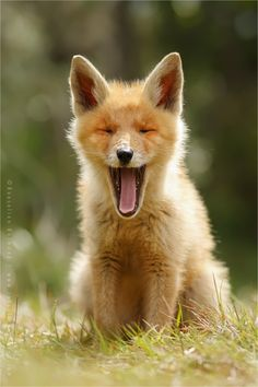 'Yawning Fox Kit' by Roeselien Raimond
