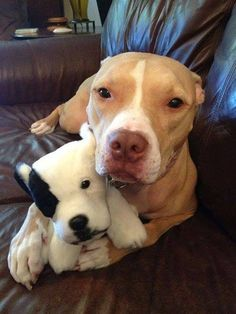 #PitBull with an adorable #pittie stuffed animal! Love Your Dog? Visit our website NOW!