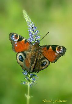 ~~European Peacock Butterfly by Leonid Fedyantsev~~