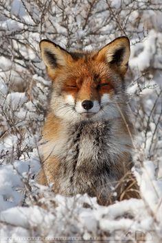 Happy Fox in WinterCoat by *thrumyeye:)
