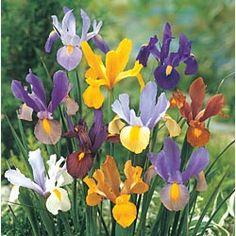 Dutch Iris - little beauties