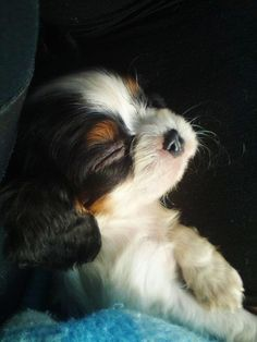 Soft little baby Cavalier