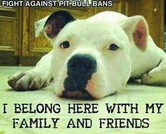 pitti luv, anim, friends, bulli, pit bulls, families, dog, luv pitbul, hello pitti
