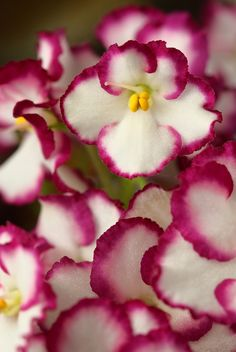 African Violet. *No shoes here*