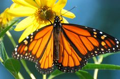 Monarch Butterfly Populations Crash 90% in 20 Years - Why Are They Not Considered Endangered?