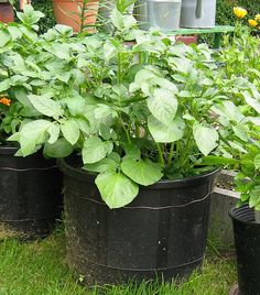 Potatoes Growing in Containers