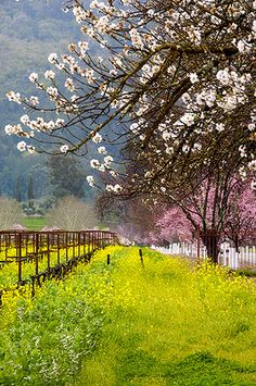 Napa Valley Vineyard in Spring.